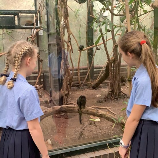 Goeldi's monkeys