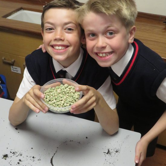 Dried peas ready to plant