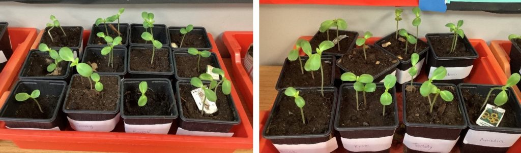Year 3 Can't Wait to plant their sunflowers